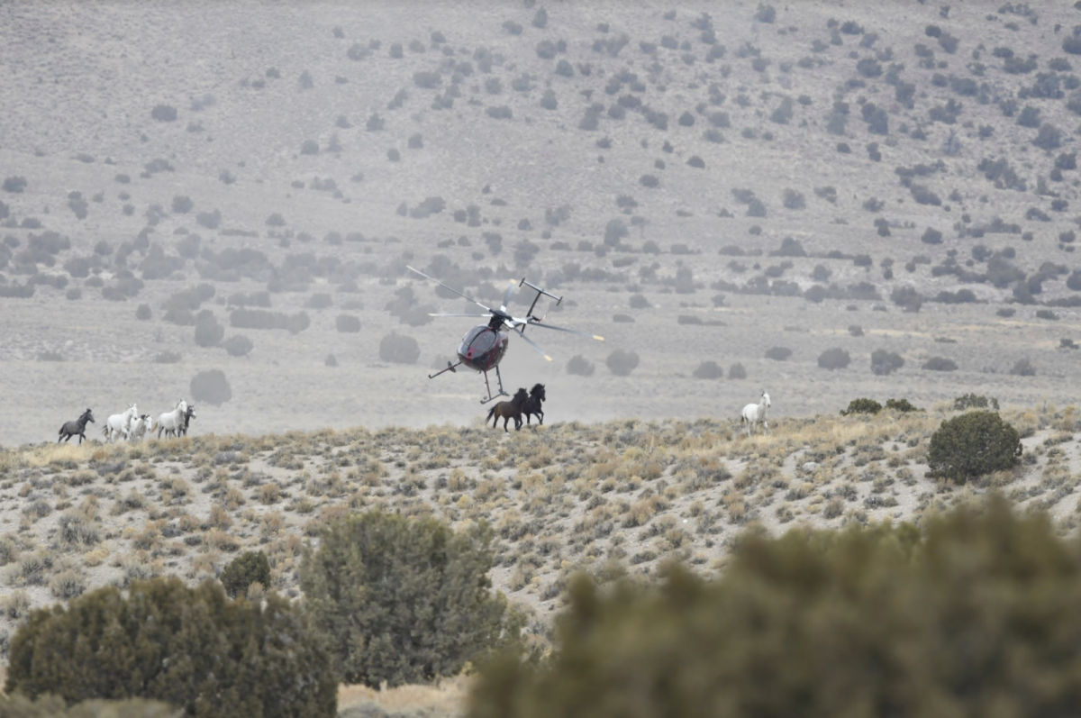 helicopter stampedes wild horses