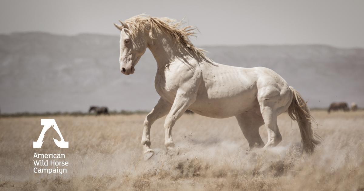 Home American Wild Horse Campaign