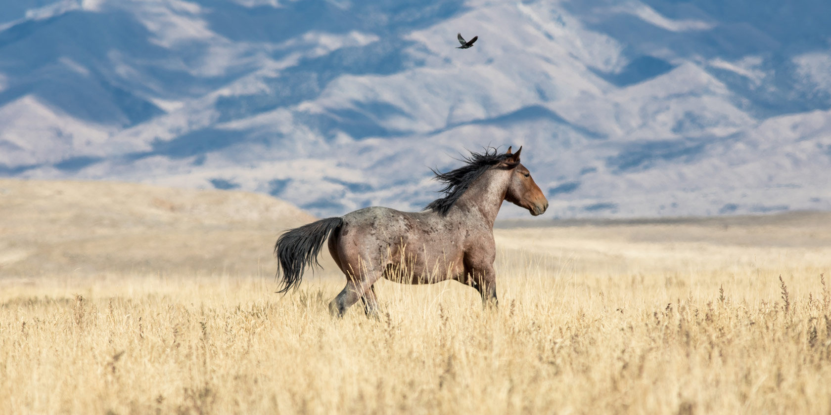Winter Wild Horse Roundups In Full Force American Wild Horse Campaign